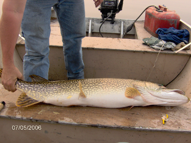 Northern pike from reindeer lake