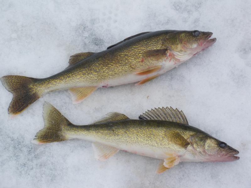 Walleye fishing for walleye canada for Walleye fishing videos