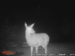 Deer on Trail Cam
