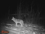 Coyote in winter on trail cam