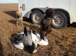 goose hunting dogs