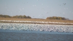 More than limit of Snow Geese