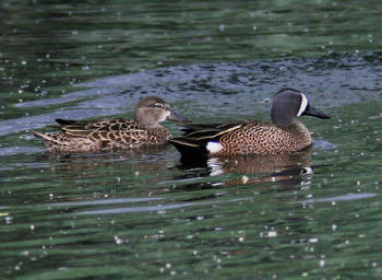 blue winged teal duck hunting