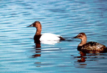 canvasback duck hunting
