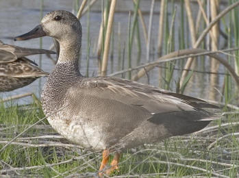 gadwall duck hunting