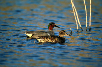 green winged teal duck hunting
