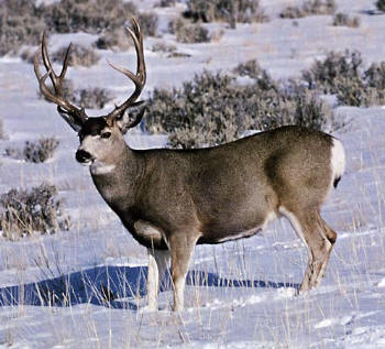 pic of mule deer hunting