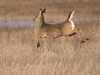 pic of white-tailed deer hunting