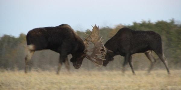 moose-459