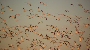 snow goose flock shooting