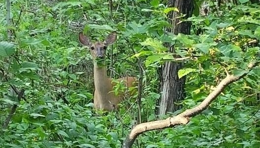deer-in-campground-650