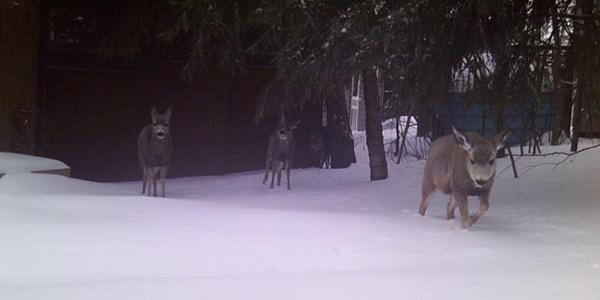 back-yard-mule-deer