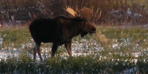 south-sask-moose